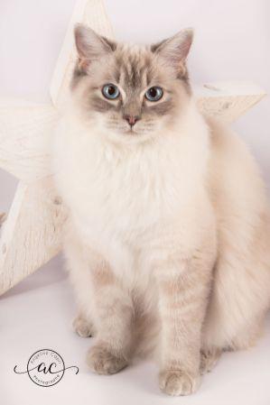 la perle des anges chaton ragdoll normandie caen calvados osmose et olympe du reve a madilane nirvana du jardin de dolly ollywood 12