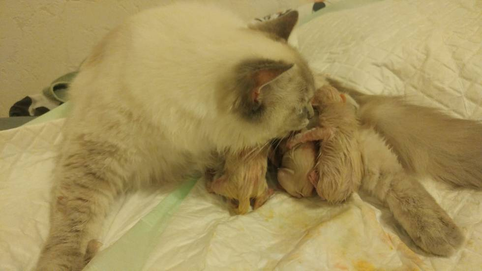 chatons chatterie la perle des anges ragdoll normandie calvados caen 5
