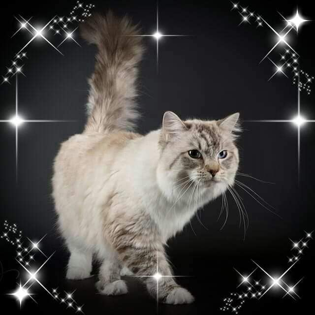 chatterie la perle des anges chatons a adopter ragdoll normandie caen calvados 2