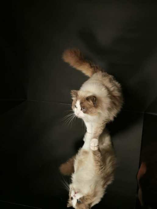 chatterie la perle des anges ragdoll normandie caen calvados chatons101