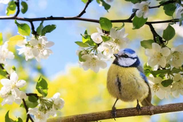 mesange cerisier chaudet paysage