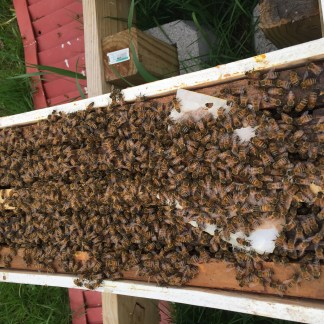 Northern Honey Bee Nuc (Nucleus)