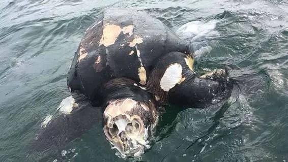 """Tartaruga """"caveira"""" é encontrada em uma praia no Reino Unido"""