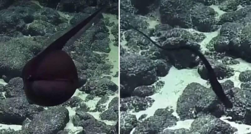 Esquerda: A enguia gulper inflada - Direita: A enguia gulper depois de se esvaziar
