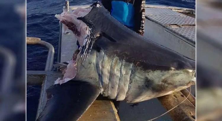 Encontram um enorme tubarão com uma cabeça mordida por um animal ainda maior ao largo da costa da Austrália