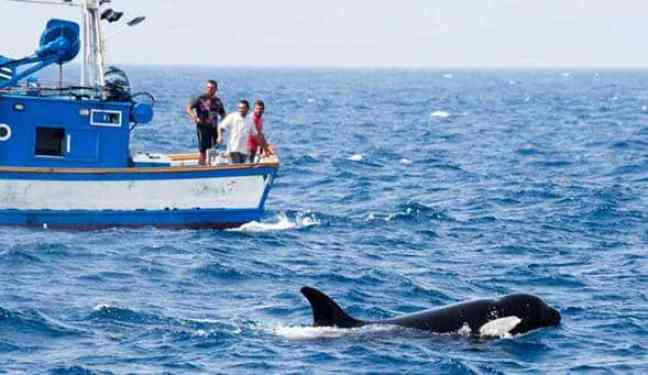 As orcas estão atacando barcos na Espanha e tubarões brancos, o que está acontecendo
