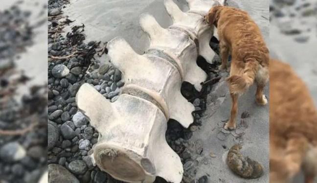 Apareceram restos mortais de uma criatura gigantesca e misteriosa em uma praia na Escócia.