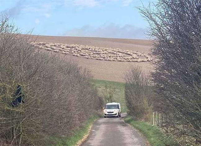 Um rebanho de ovelhas se comportando de maneira estranha