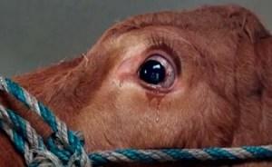 Emma, a vaca que chorou ao pressentir que seria abatida.