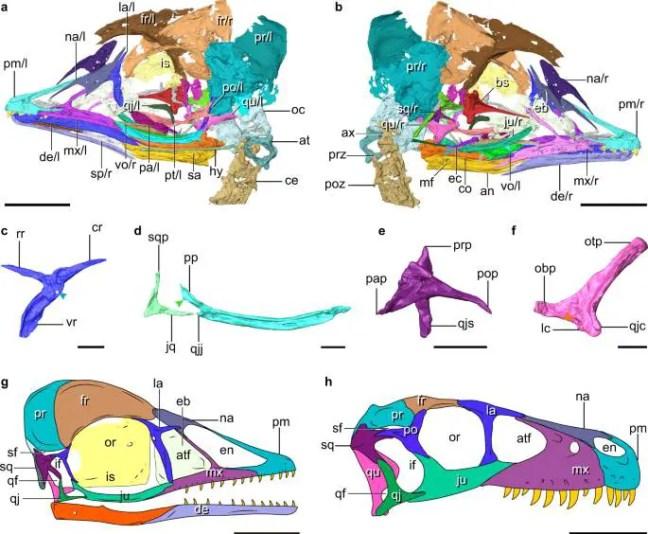 Reconstrução digital do crânio com detalhes ampliados dos ossos palatinos semelhantes a dinossauros, ou seja, base fenóide (vermelho), pterigóide (rosa) e quadrada (roxa). As estrelas indicam as duas partes do dente pterigóide que se estendem atrás do olho.