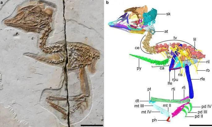 Reconstrução digital do novo esqueleto fóssil de ave do Mesozóico (barra de escala 10 mm).