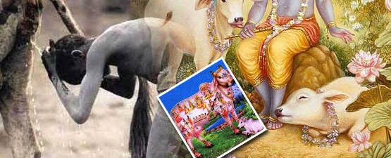 cow urine india
