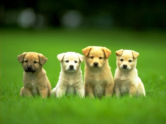male puppies