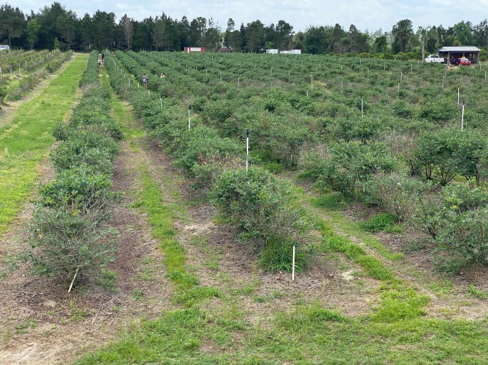 pick your own blueberries at Showcase of Citrus