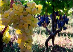 Etna vineyard