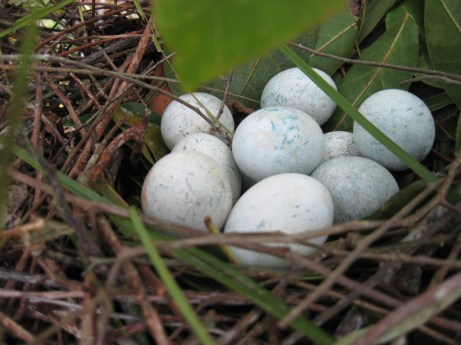 Greater Ani eggs, photo courtesy C. Riehl