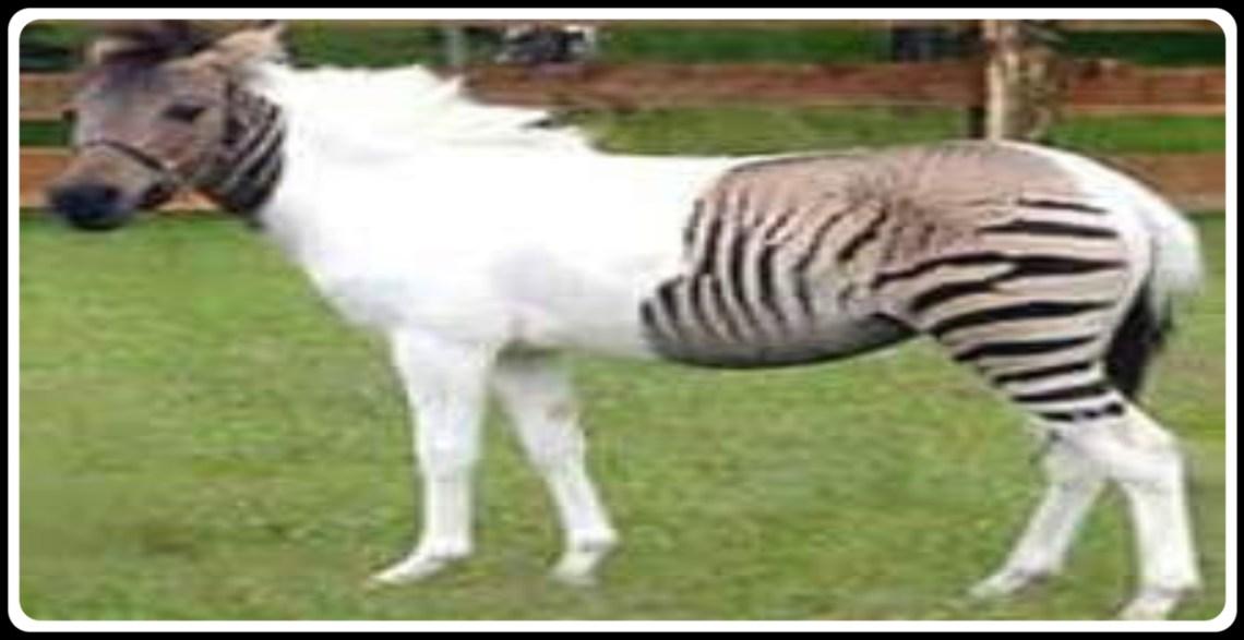 Albinoid Zebra