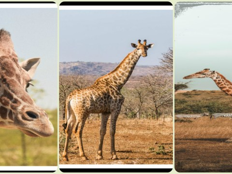 Giraffe : The Tallest Animal In The World