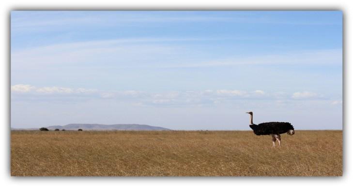 Male somali ostrich