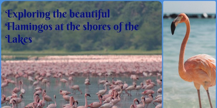 Exploring the beautiful Flamingos