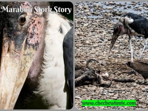 My Marabou Stork Story