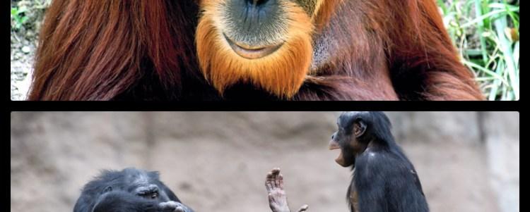 The Greater Apes: Orangutan and Bonobos (Demo)
