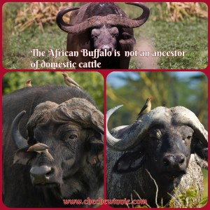 The African Buffalo is  not an ancestor of domestic cattle