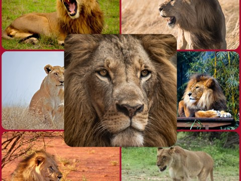 The Big Cats : Lions