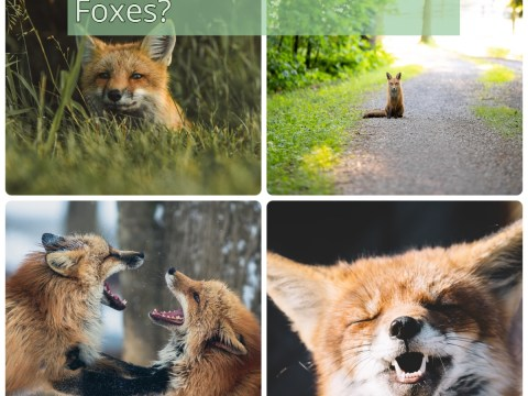 What Do You Know About Foxes?