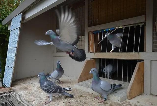 鳩の飼い方