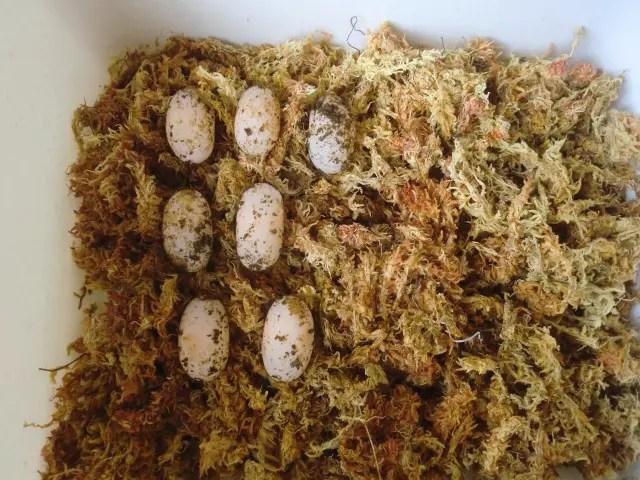 イシガメの卵