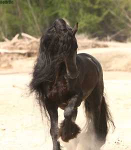 Qualified Friesian Stallion - Wander 352