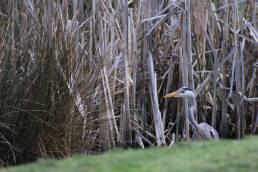 heron bird in Stoke on Trent