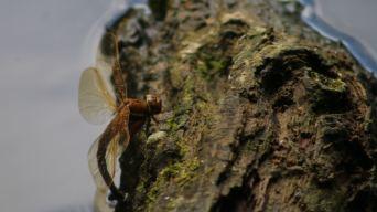 Dragonfly, Westport lakes
