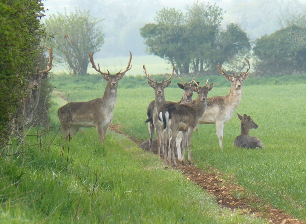 Deer near Ashwell Lodge - Maureen Floyd