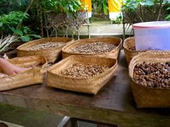 Kopi Luwak coffee beans bali indonesia cleaning process