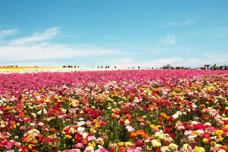 The Flower Fields Carlsbad - Beautiful Small Towns In California