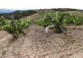 The vineyards at Domaine de Torraccia.