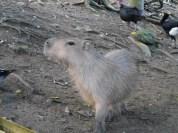Cute capybaras.