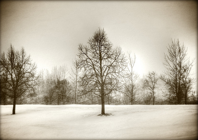 winter trees in snow field