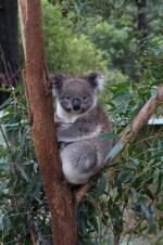 Koala in Healsville Santury