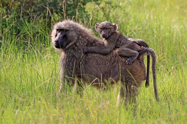 Olive_baboon_Papio_anubis_with_juvenile.