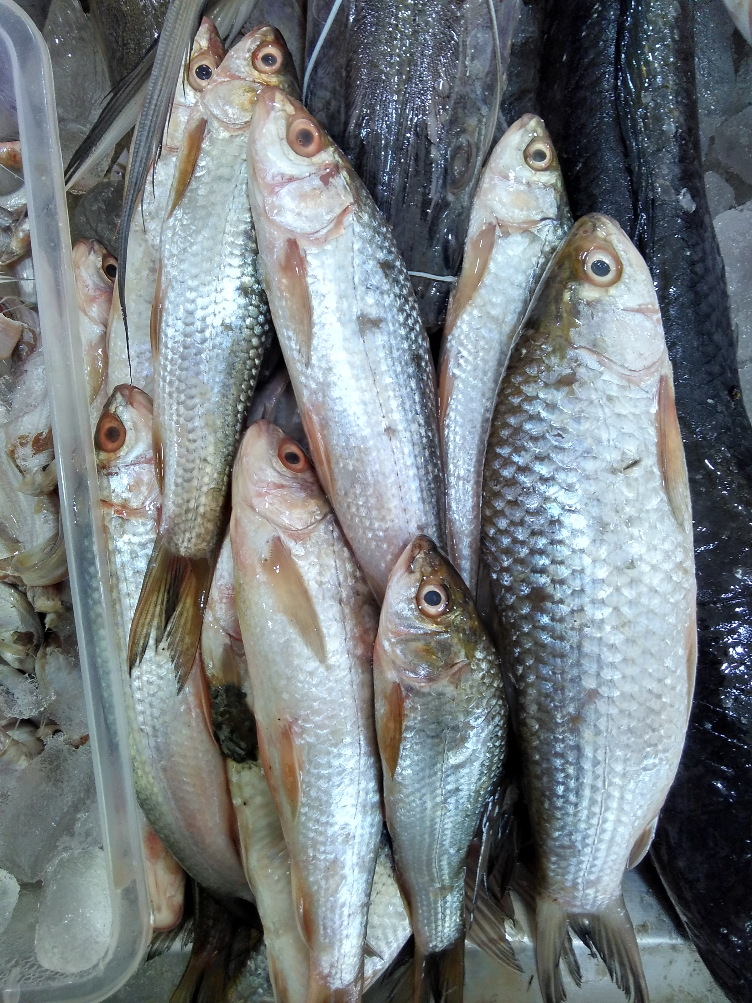 Buy variety of bengali fish from chef butcher bangalore for Sea city fish and chicken
