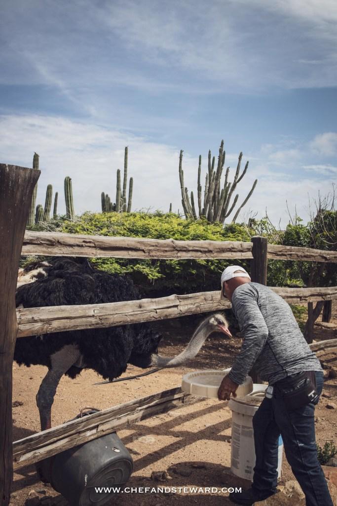 Aruba Ostrich Farm guide feeding the ostriches for what to do in Aruba Off the beaten path