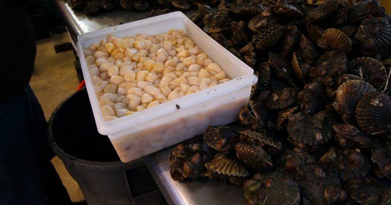 Bay Scallop Season 2017