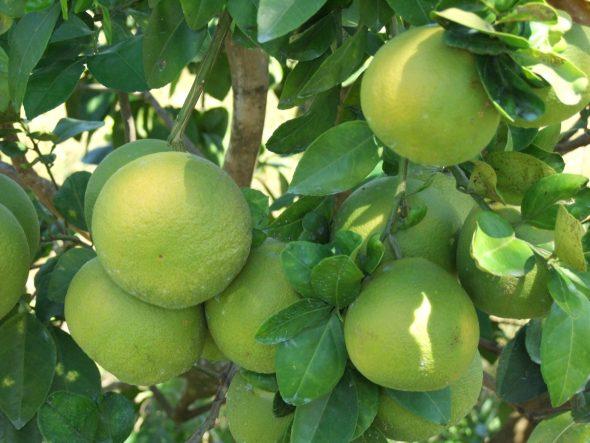 Breadfruit in Saint Lucia.