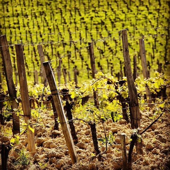 The vineyards in Saint Emilion