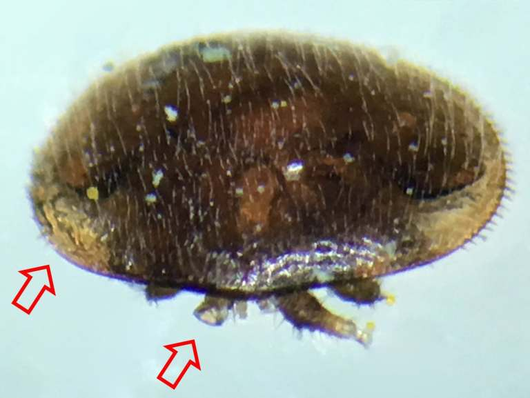 Varroa with injuries