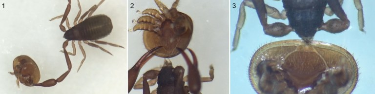 Book scorpion with Varroa mite