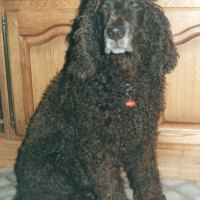 Bonzo Irish Water Spaniel
